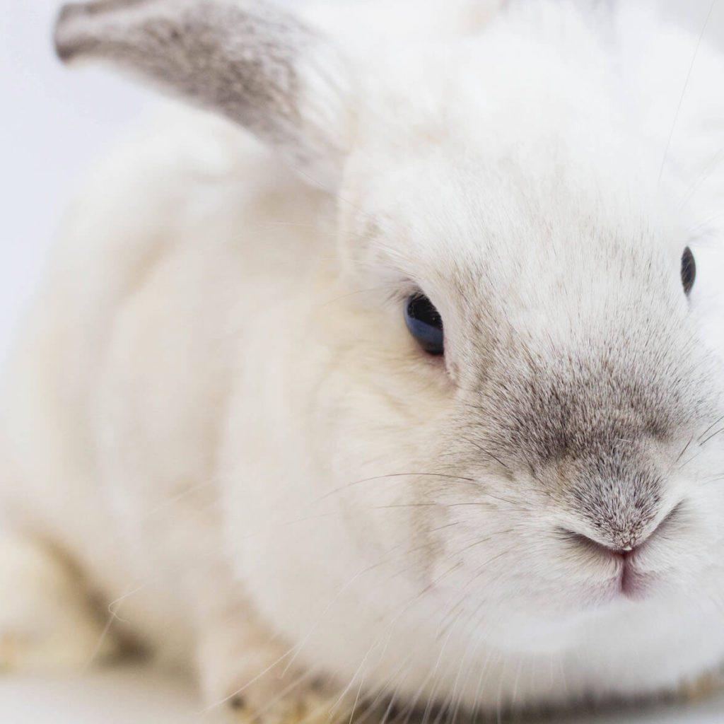 Albertslund-dyreklinik-kanin-hvid