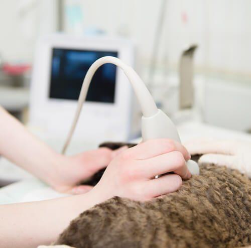Ultralydsscanning af en hund eller kat